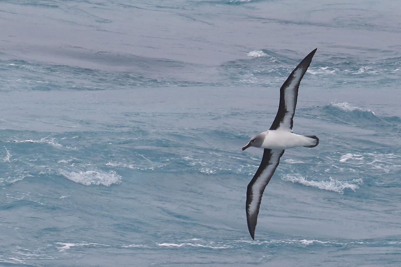 Grey-headed Albatross, At sea, south of Falkland Islands and north of Antarctica, South Atlantic Ocean.
