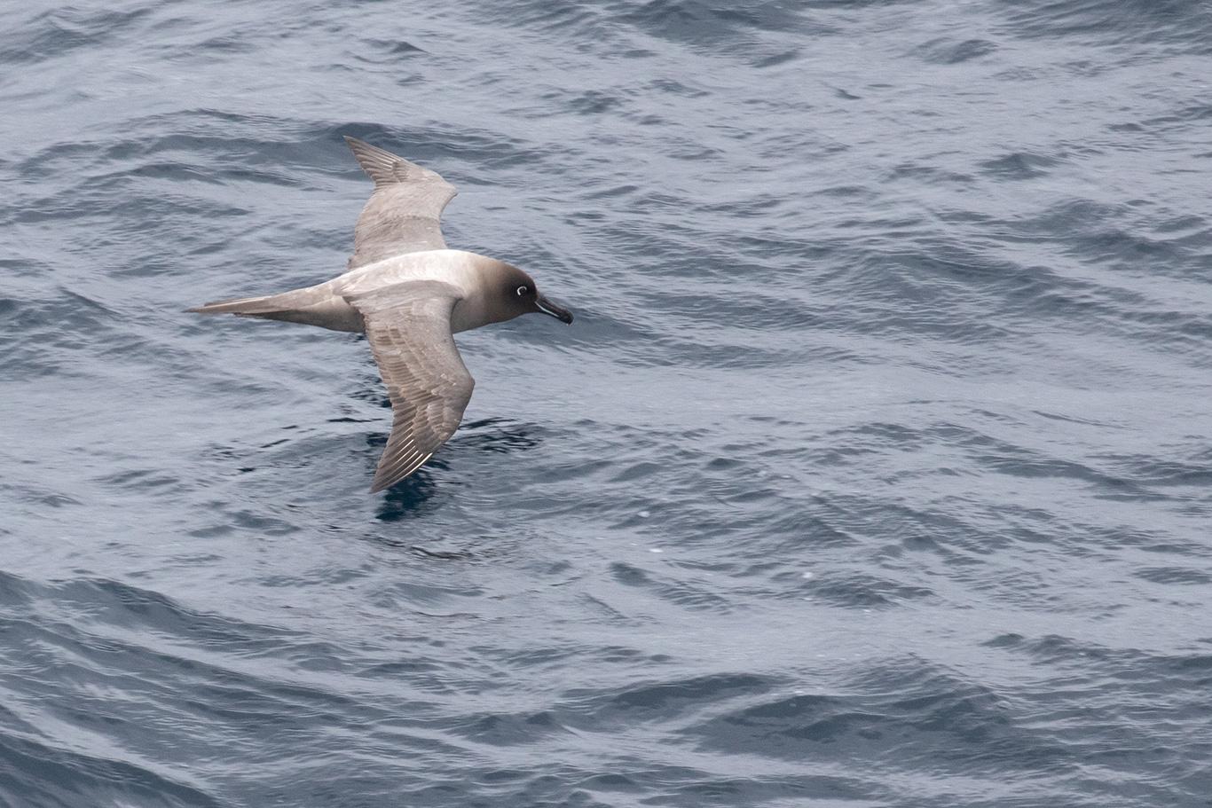 Light-mantled Sooty Albatross, Bransfield Strait, Antarctica.