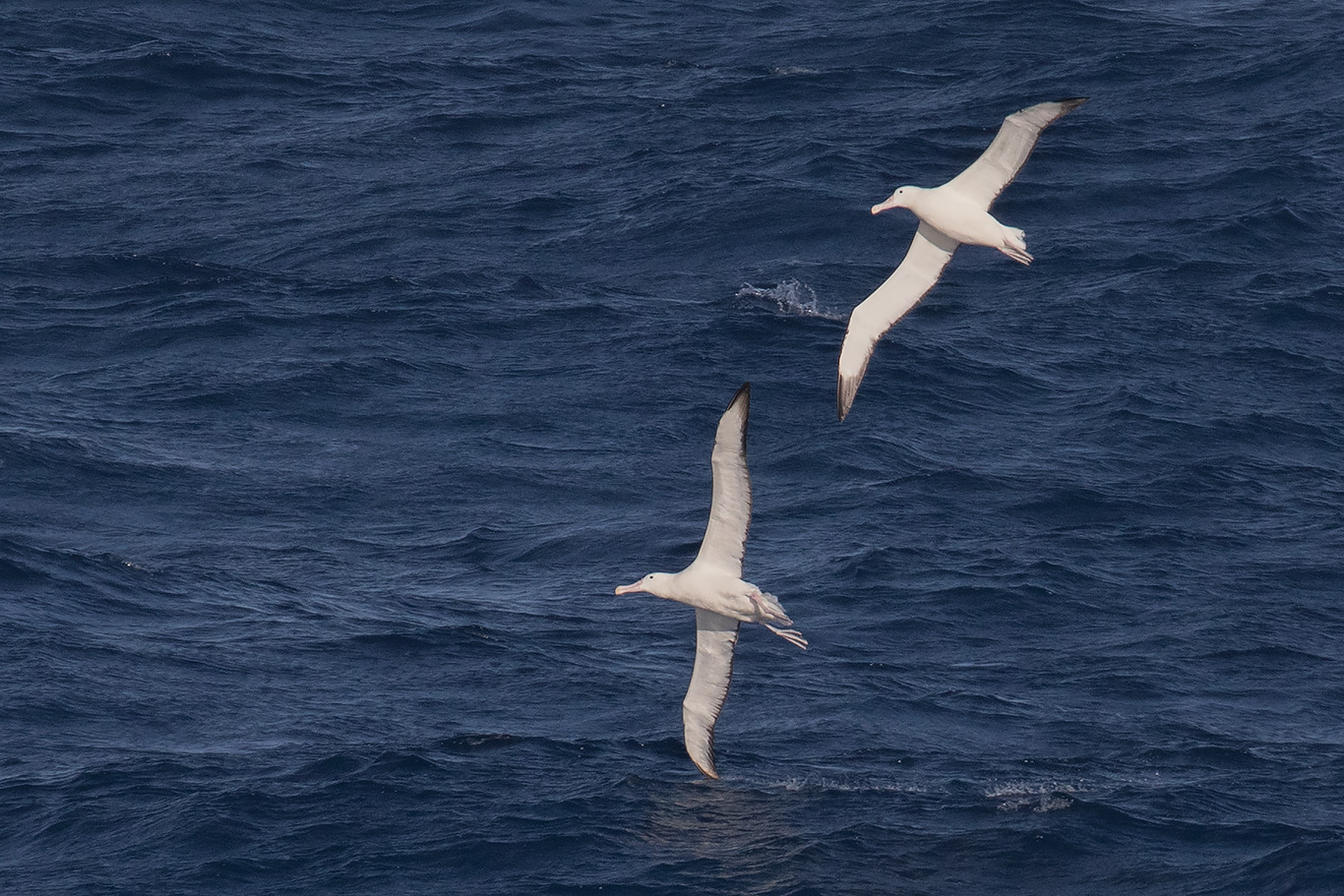Royal Albatross, At sea, south of Falkland Islands and north of Antarctica, South Atlantic Ocean.