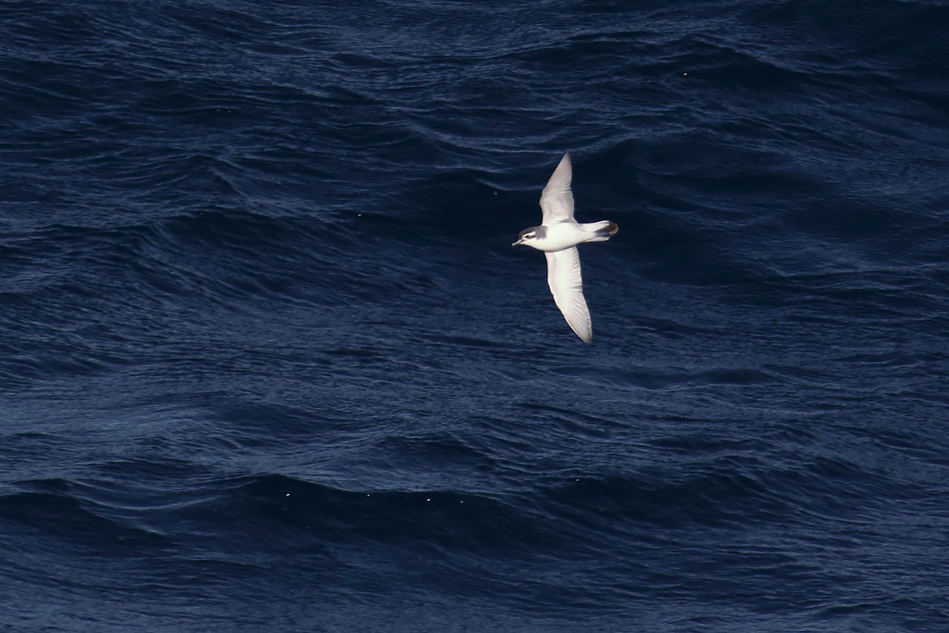 Prion species, At sea, south of Falkland Islands and north of Antarctica, South Atlantic Ocean.
