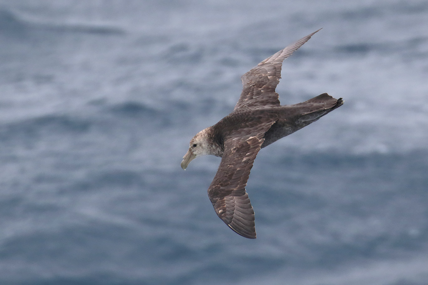 Southern Giant Petrel, At sea, south of Falkland Islands and north of Antarctica, South Atlantic Ocean.