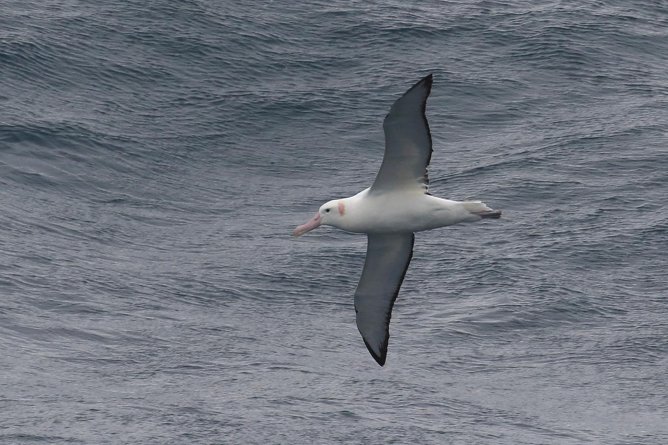 Wandering Albatross, At sea, south of Falkland Islands and north of Antarctica, South Atlantic Ocean.