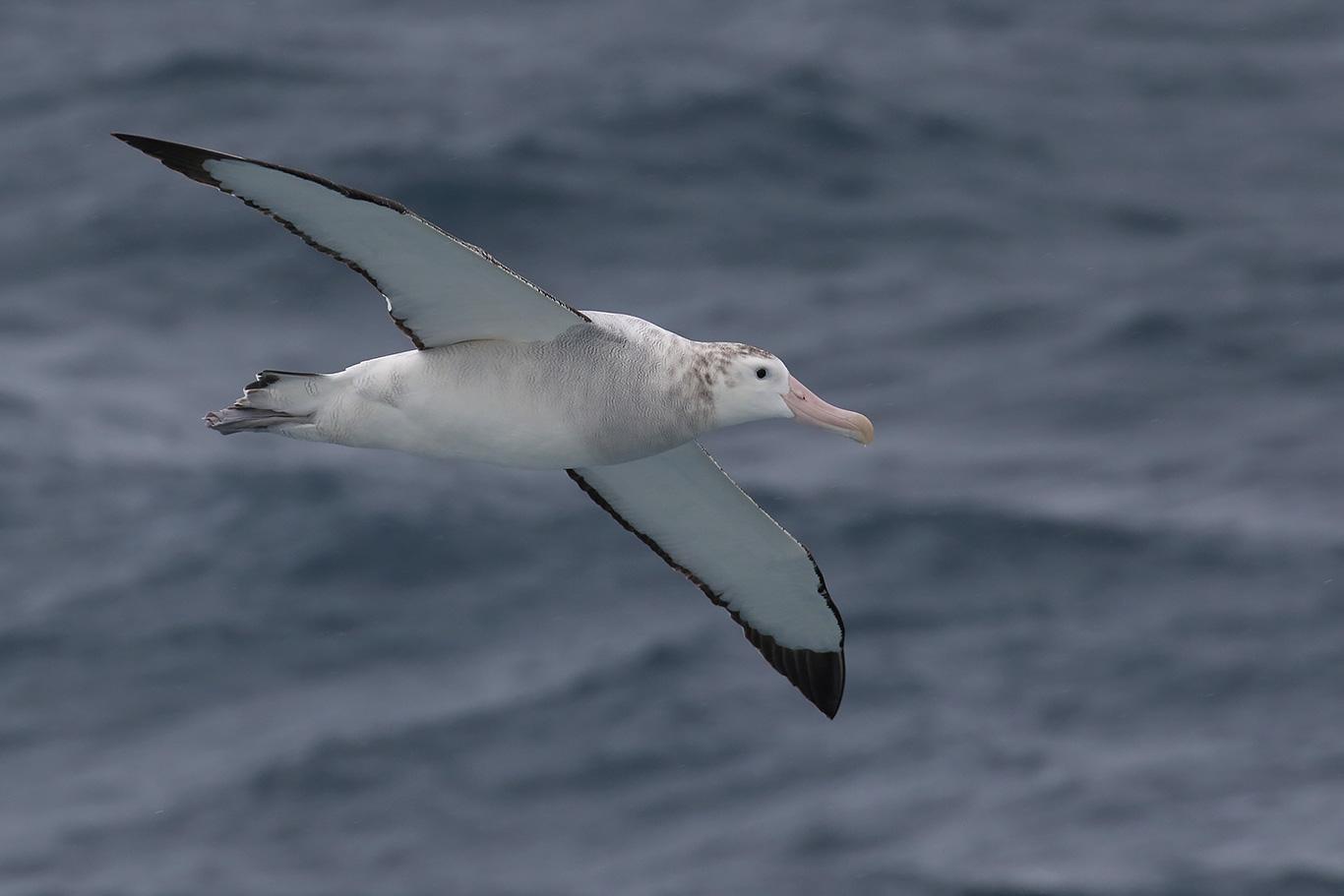 Wandering Albatross, North of Brabant Island, Antarctica.