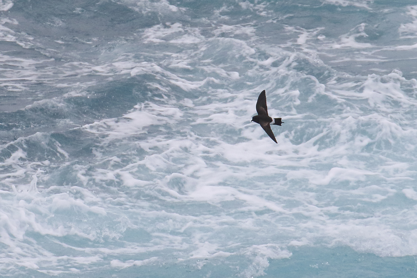 Wilson's Storm-Petrel, At sea, south of Falkland Islands and north of Antarctica, South Atlantic Ocean.