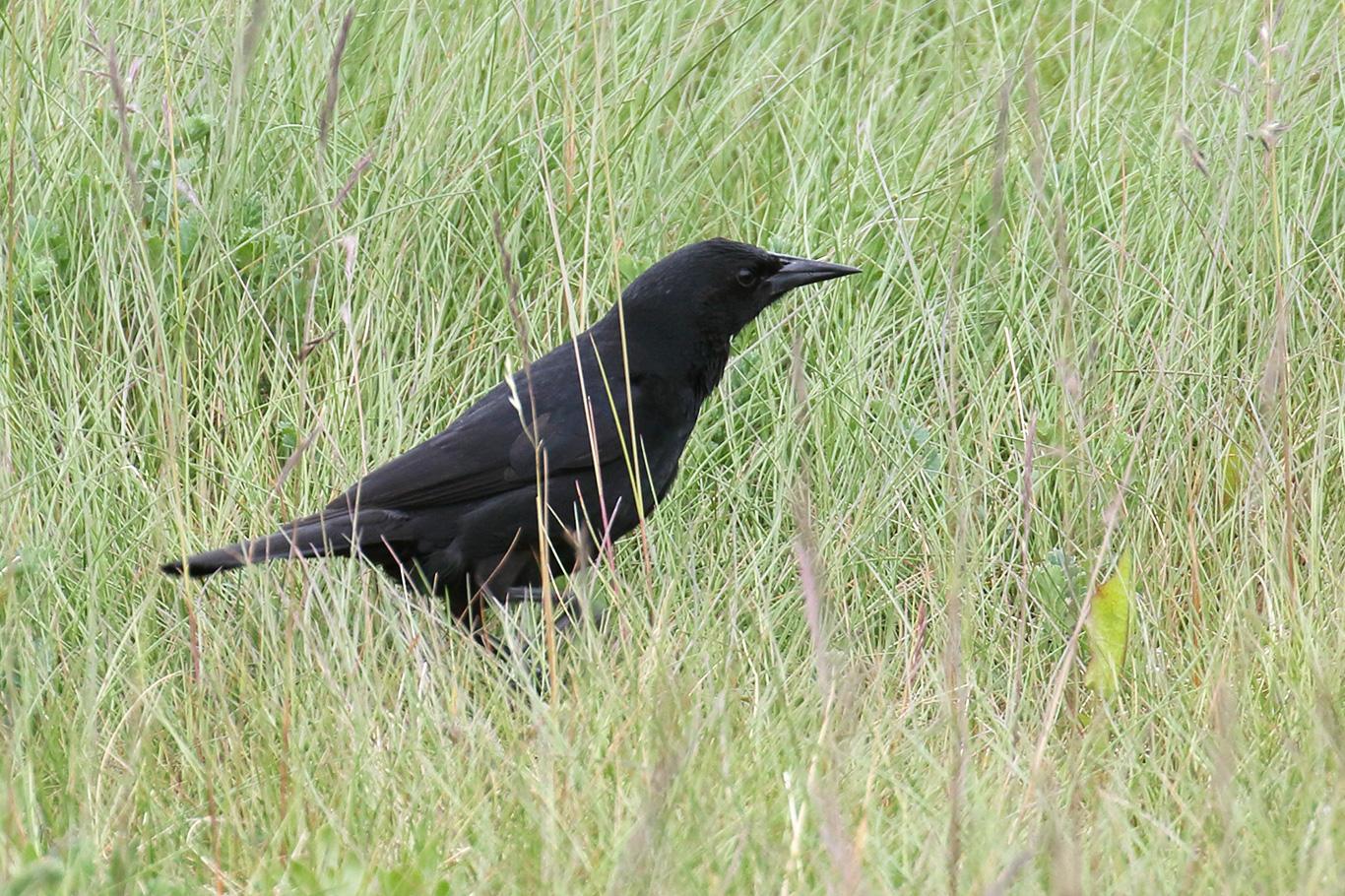 Austral Blackbird, Tierra Del Fuego, Argentina.