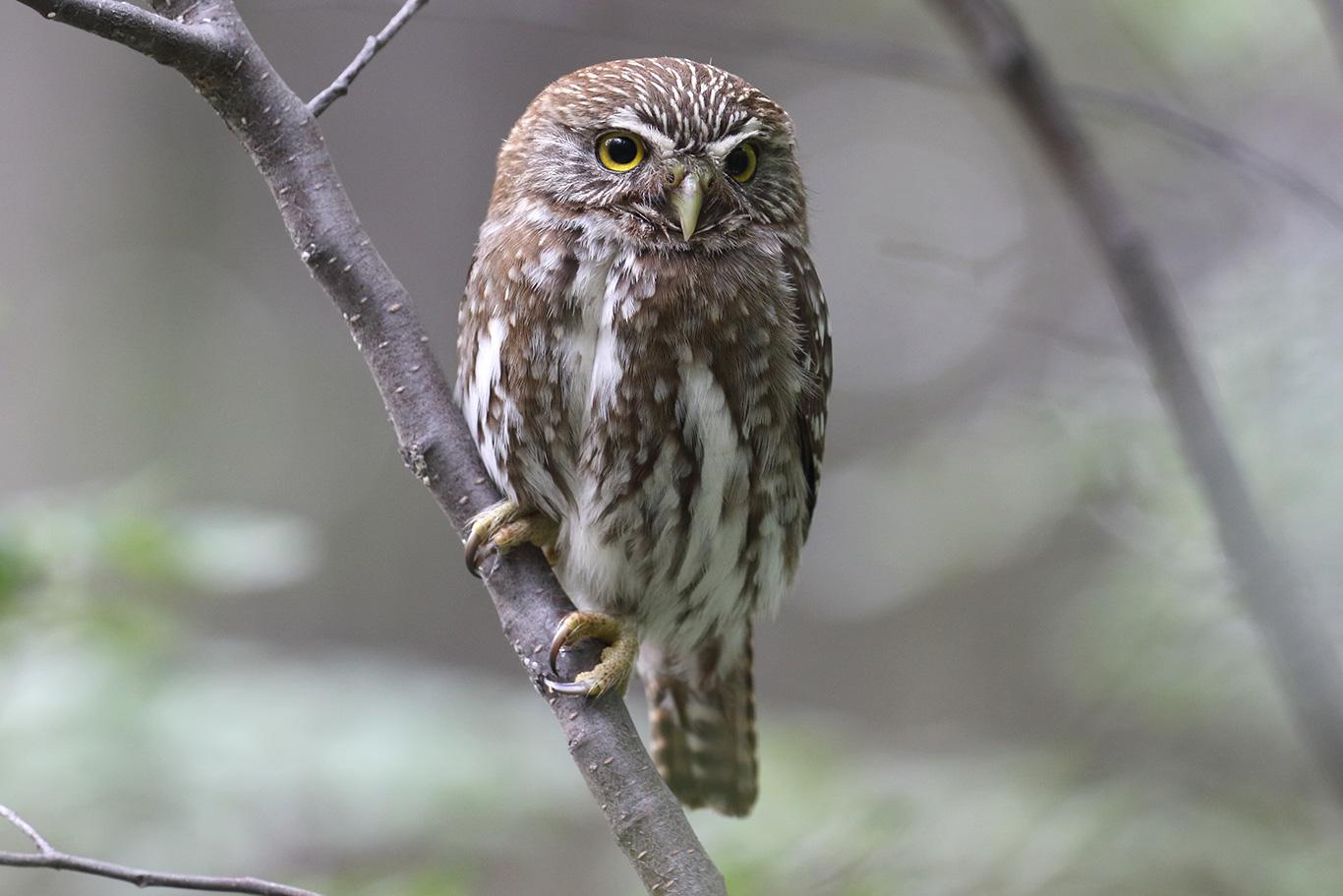 Austral Pygmy Owl, Tierra Del Fuego, Argentina.