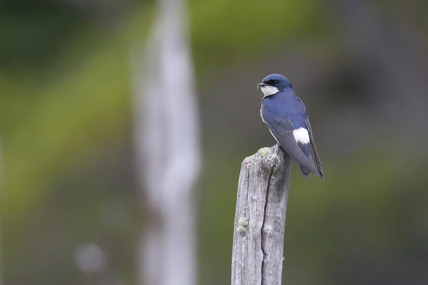 Chilean Swallow, Tierra Del Fuego, Argentina.