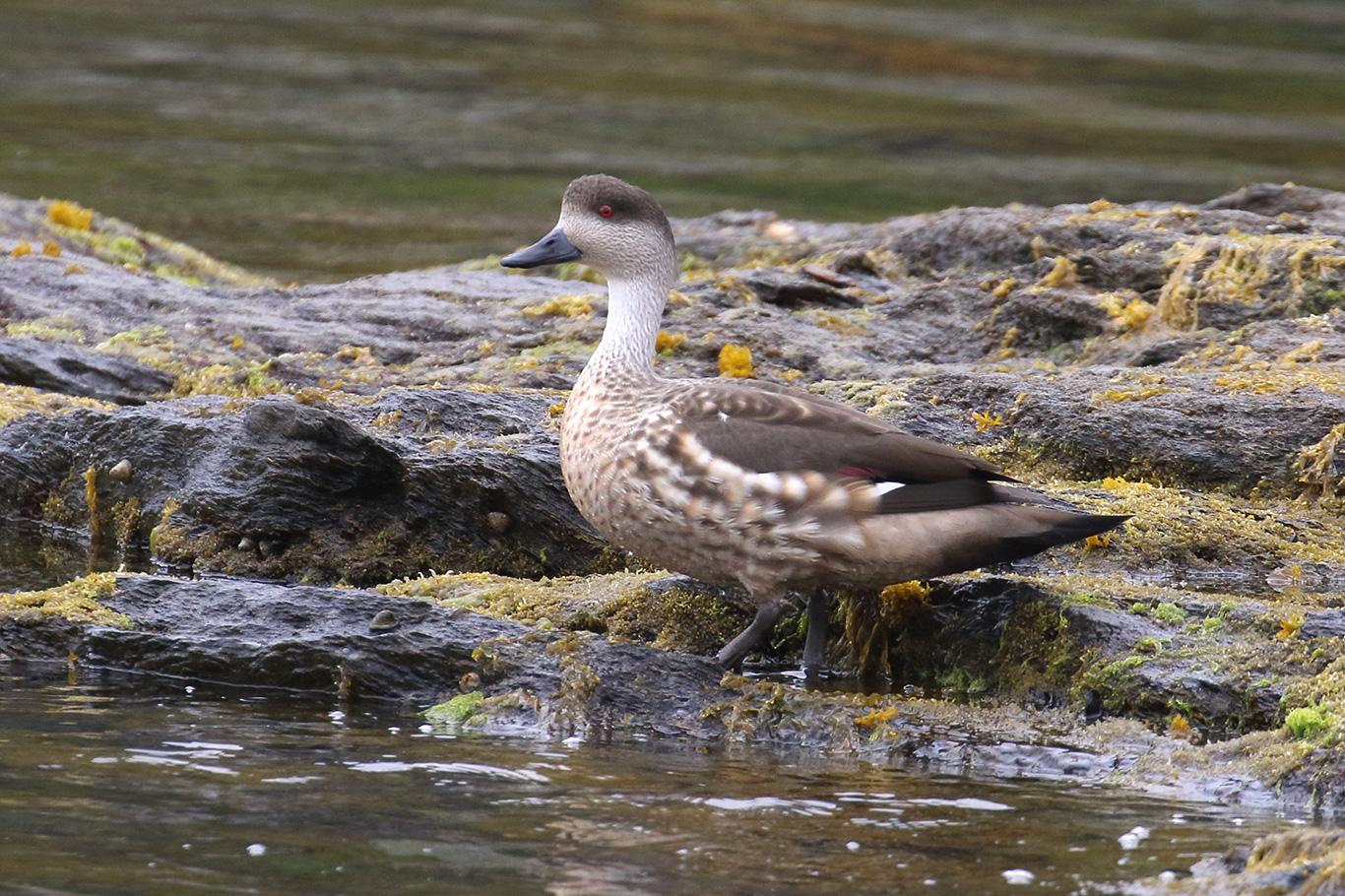 Crested Duck, Tierra Del Fuego, Argentina.