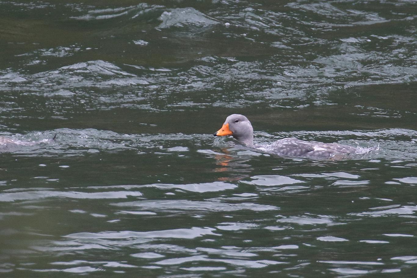 Flightless Steamer Duck, Tierra Del Fuego, Argentina.