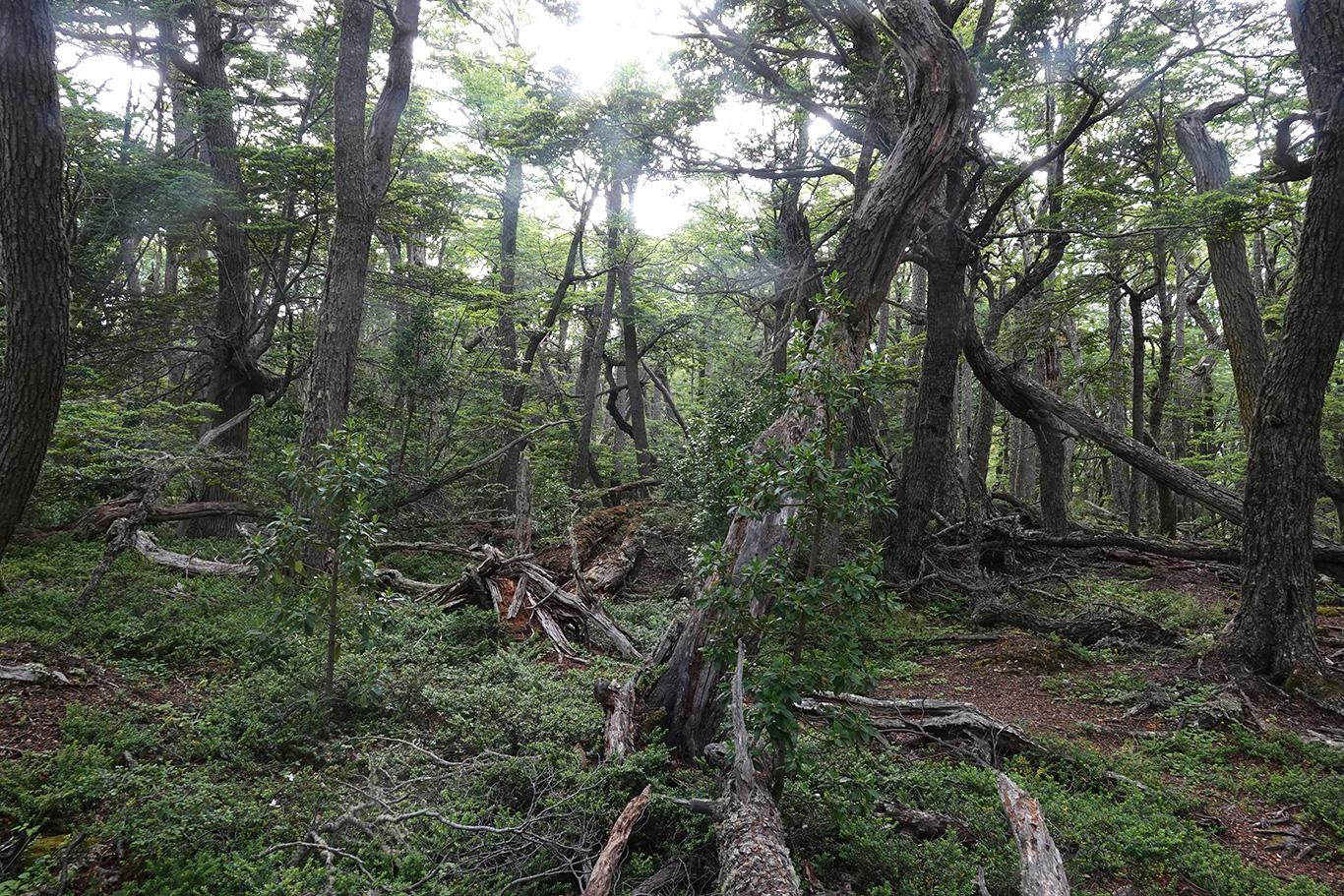 Forest in Tierra Del Fuego, Tierra Del Fuego, Argentina.