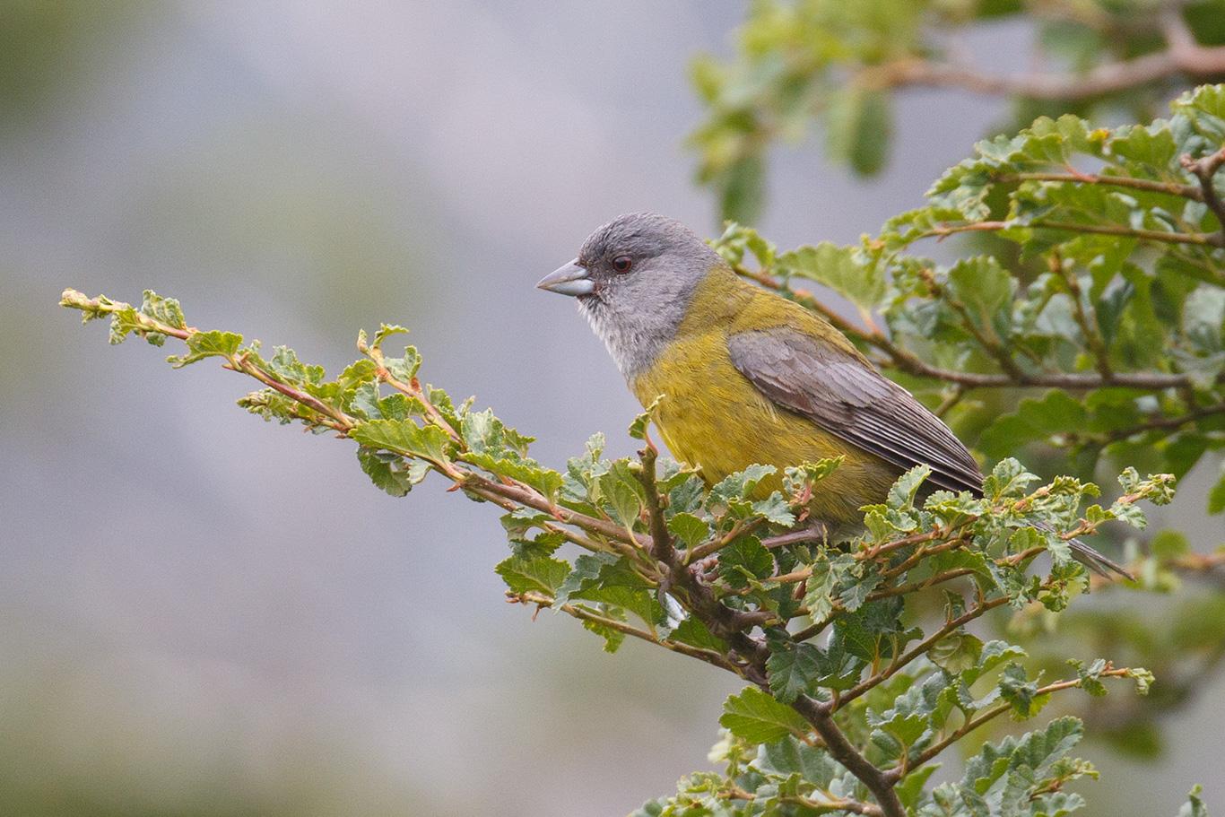 Patagonian Sierra Finch, Tierra Del Fuego, Argentina.