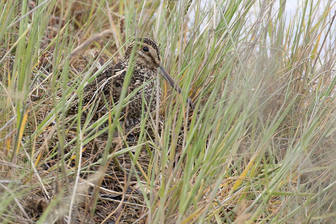 South American Snipe, Ushuaia, Argentina.
