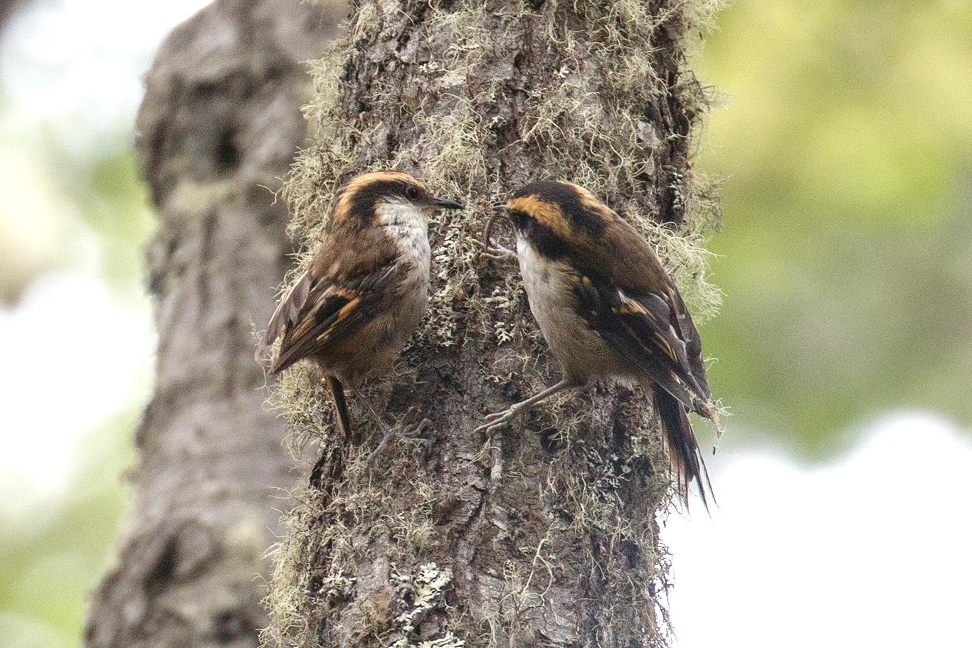 Thorn-tailed Rayadito, Tierra Del Fuego, Argentina.