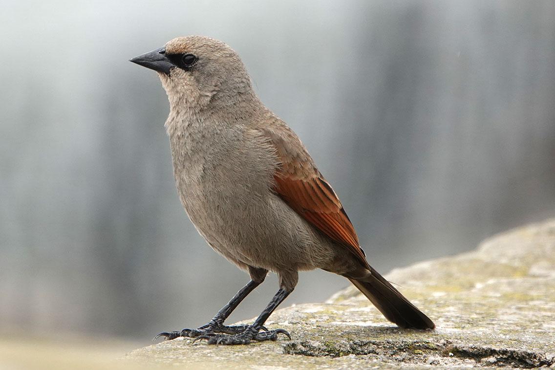 Grayish Baywing, Reserva Ecológica Costanera Sur, Buenos Aires, Argentina.