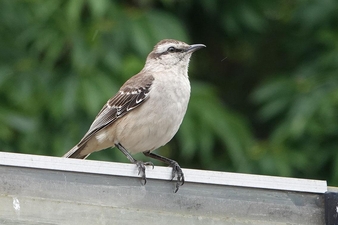 Chalk-browed Mockingbird, Reserva Ecológica Costanera Sur, Buenos Aires, Argentina.
