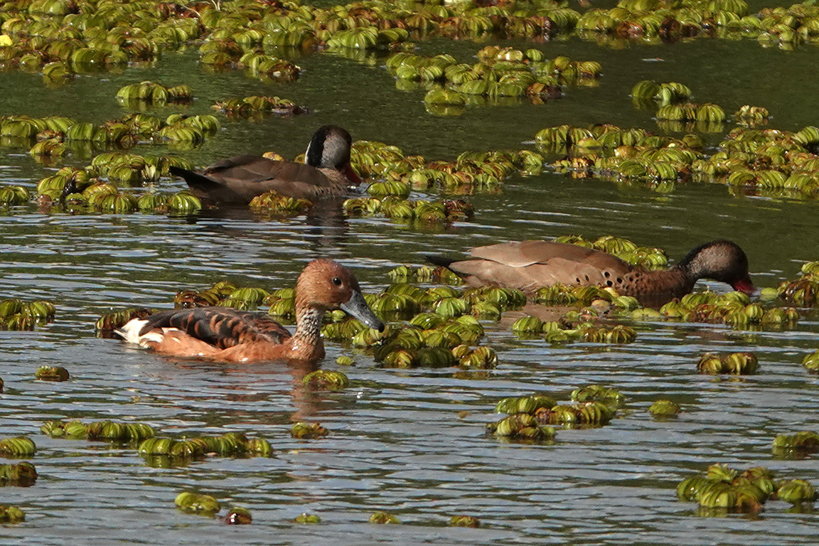 Fulvous Whistling Duck, Reserva Ecológica Costanera Sur, Buenos Aires, Argentina.