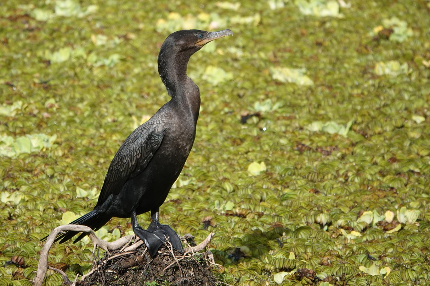 Neotropic Cormorant, Reserva Ecológica Costanera Sur, Buenos Aires, Argentina.