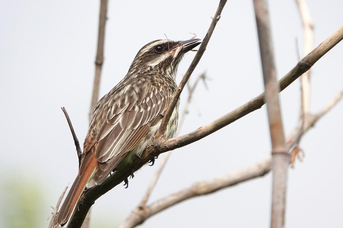 Streaked Flycatcher, Reserva Ecológica Costanera Sur, Buenos Aires, Argentina.