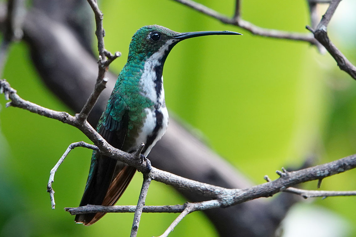 Black-throated Mango, Jardin de Picaflores, Puerto Iguazú, Argentina.