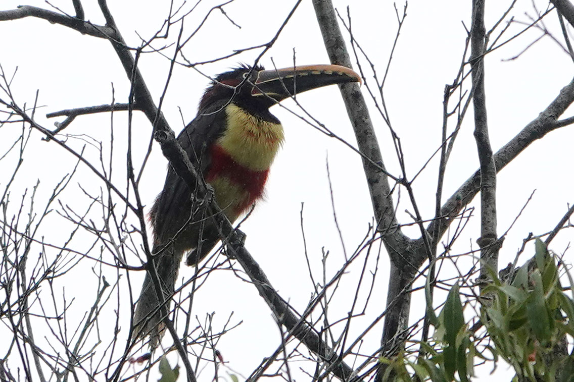 Chestnut-eared Aracari, Parque Nacional Iguazú, Argentina.