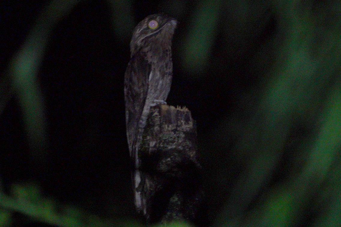 Common Potoo, Bio Reserva Karadya, Argentina.