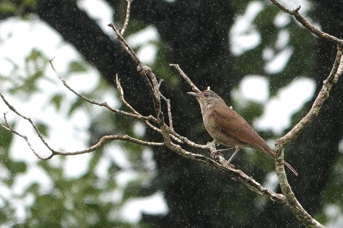 Pale-breasted Thrush, Parque Nacional Iguazú, Argentina.