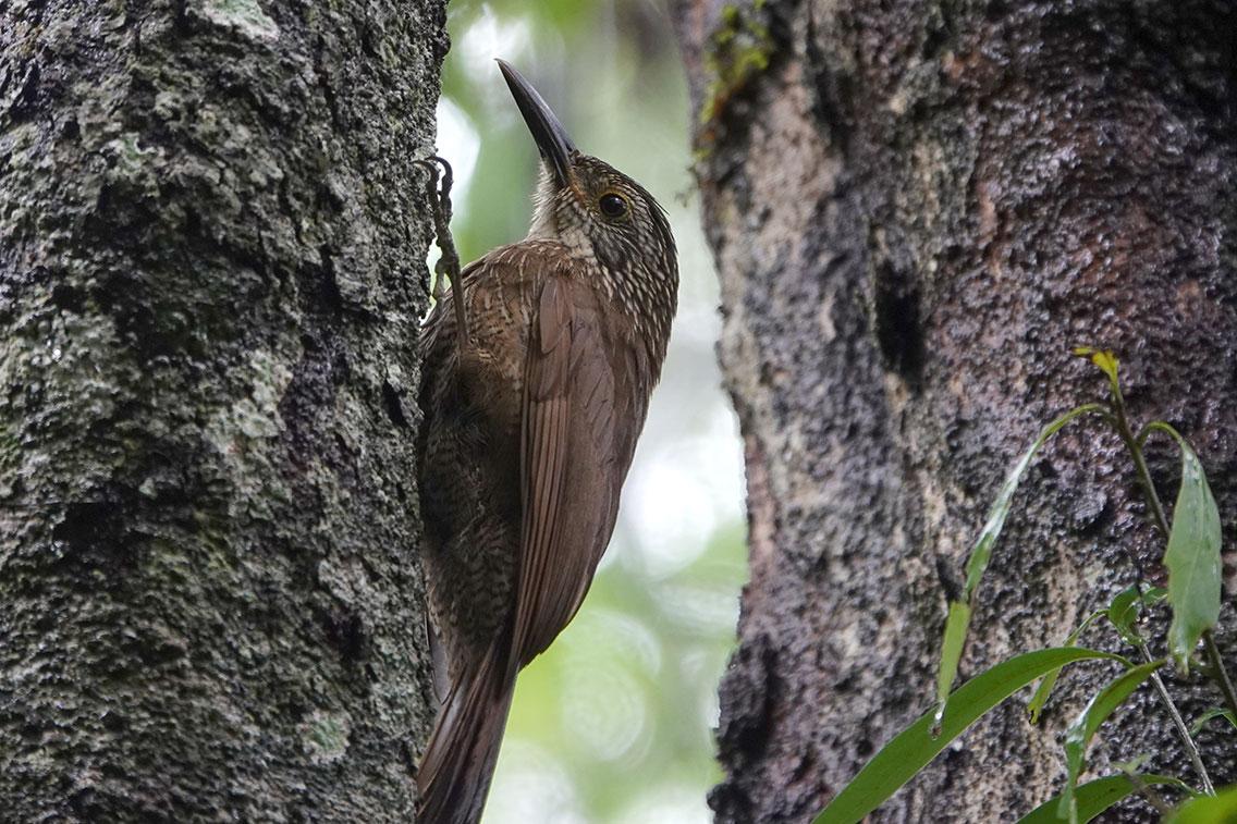 Planalto Woodcreeper, Bio Reserva Karadya, Argentina.