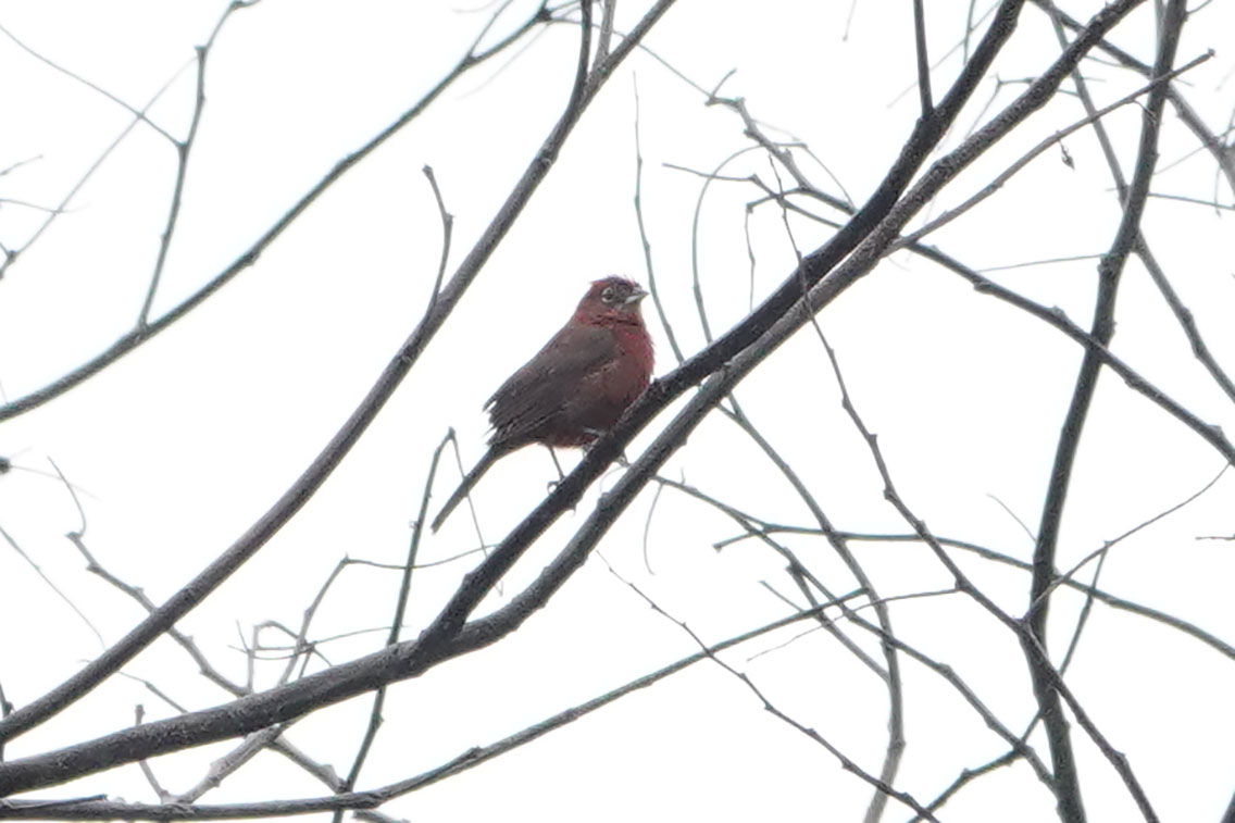 Red-crested Finch, Parque Nacional Iguazú, Argentina.