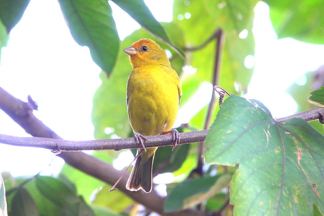 Saffron Finch, Jardin de Picaflores, Puerto Iguazú, Argentina.