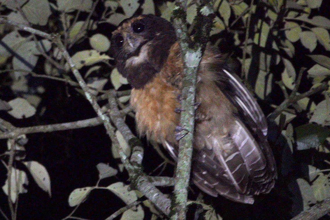 Tawny-breasted Owl, Bio Reserva Karadya, Argentina.