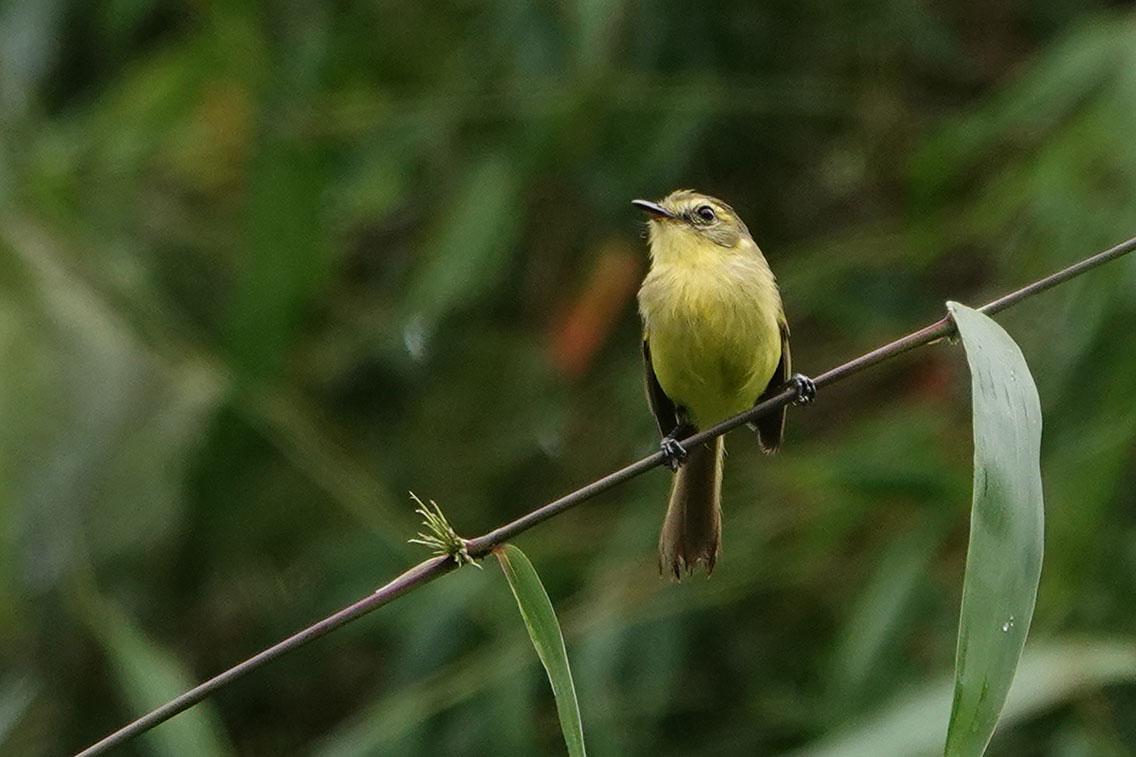 Yellow Tyrannulet, Bio Reserva Karadya, Argentina.